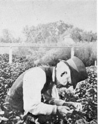 Luther Burbank personally tended his plants and flowers until his death in 1926