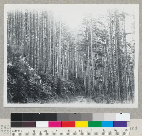 Calisphere: Douglas fir region  Looking back toward #7339  Alsea