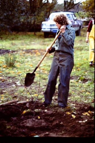 Planting plum trees at The Luther Burbank Gold Ridge Experiment Farm Cottage, during restoration, 1983