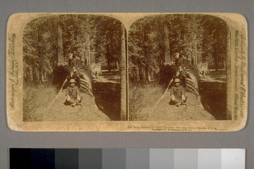 The Fallen Monarch (24 feet in diameter). Mariposa Grove, California, U.S.A. 1894