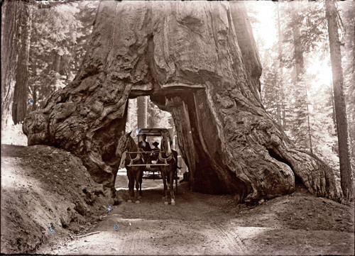 Wawona the giant Sequoia Tree