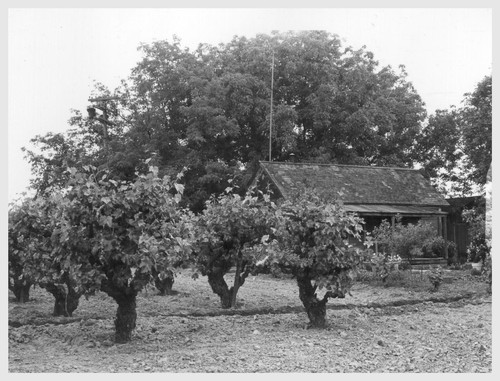 (4 miles east of Lodi.) Farm home of laborer of Japanese ancestry. This vineyard is the highly productive area of San Joaquin County.--Photographer: Lange, Dorothea--Lodi, California. 5/14/42