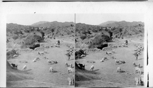 Hindu shepherds tending their flocks on Mt. Abu - Dilwarra. Temples in distance. India