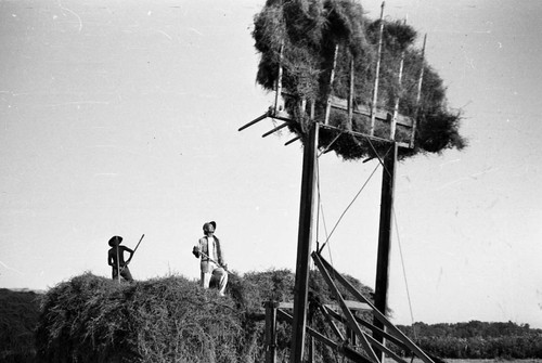Men working on haystack in Jerome camp