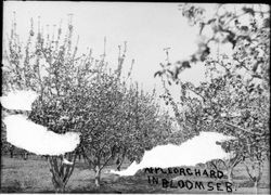 Apple orchard in bloom, Seb