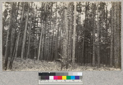 "An ""old field"" type of loblolly and shortleaf, 60 years old, near Crossett, Arkansas. E. F. April, 1929"