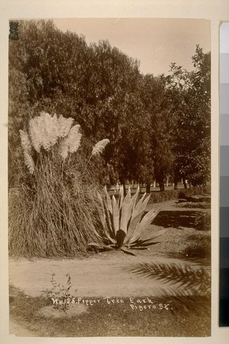 No. 125--Pepper Tree Park, Figero St. [Pampas grass and century plant]