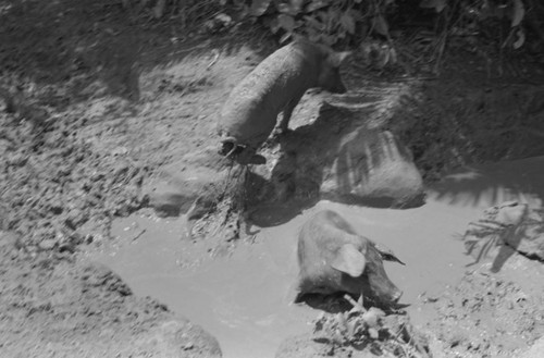Two pigs standing in mud puddle, San Basilio de Palenque, 1976