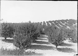 Apple orchard, probably late spring as no fruit is visible, about 1915