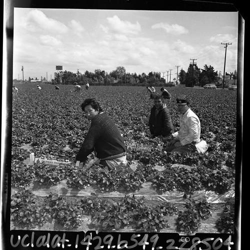 Calisphere: South Dakota Sioux Indian men picking strawberry