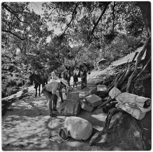 Packing mules at Rancho La Victoria in the Cape Sierra