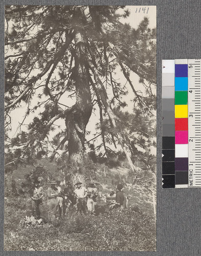 The crew and an unusually heavy crowned Jeffrey Pine. Top of ridge between Meadow Valley and Middle fork of the Feather River. Califorest Camp 1920