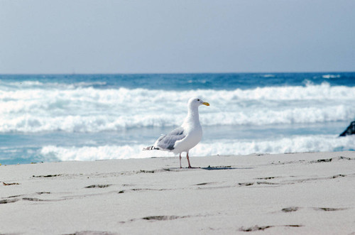 Seagull at the ocean