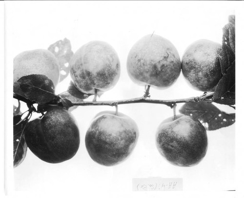 Plums AA-4 on a branch, July -1929