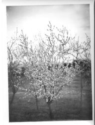 Various fruit trees in bloom at Burbank Gold Ridge Experiment Farm