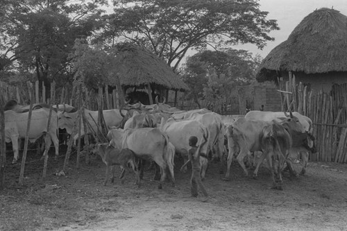 Boy herding cattle through the village, San Basilio de Palenque, 1976