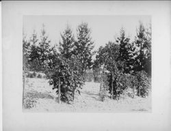 Burbank's Gold Ridge Experiment Farm in Sebastopol with berry bushes in foreground, fence and trees in background