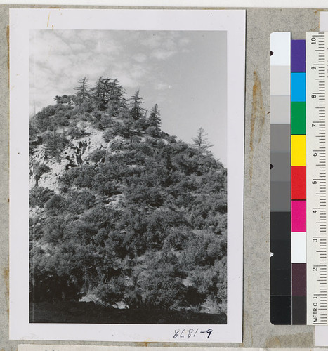Big Cone Spruce, Pseudotsuga macrocarpa, against sky above Cuyama on Highway 399 with scrub oak, pinon and desert juniper. Metcalf. October 1952