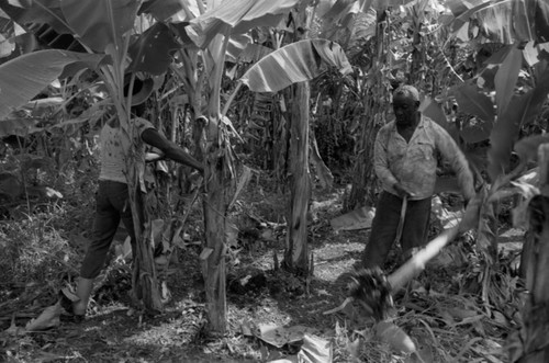 Fermín Herrera working with machete, San Basilio de Palenque, 1976