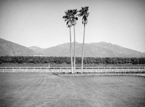 Three palm trees, Santa Anita Racetrack