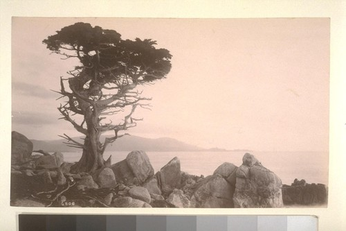 [Cypress tree, Monterey.]--6808