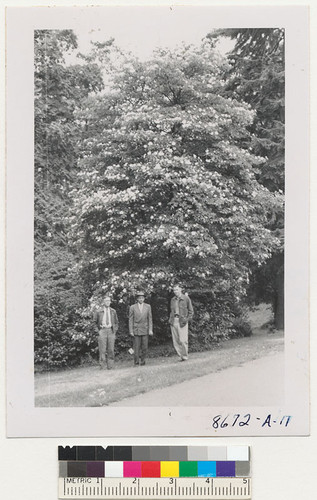 University of Wahington. Haddock, Lunnum, and Zivnuska at the arboretum before a dogwood in full flower in September. Metcalf. September 1952