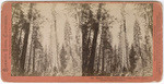 Mother of the Forest, 305 feet high, 63 feet circumference, bark off 121 feet # 888
