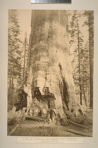 Calaveras Mammoth Trees. The Mother of the Forest
