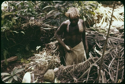 Man gathering eggs out of megapode nest