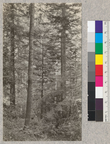 Second Growth Redwood Cutting Experiment. Project #688. Freshwater Creek, Humboldt County, California. Showing general character of 50 year old forest after thinning. Note long nodes on white fir to left of center. E. Fritz, June 1923