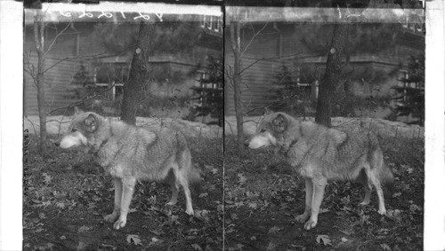 Calisphere: Beautiful Gray Wolf - terror of ranchmen in the