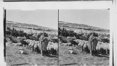 The Shepherd and his flock - the sheep and the goats. Palestine