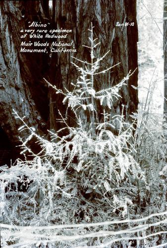 Calisphere White Redwood Tree In Muir Woods Circa 1940