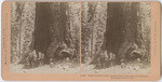 Great Grizzly Giant, largest limb is ten feet in diameter, Mariposa Grove, Cal., # 11883