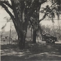 Cork Trees at Lick Mill