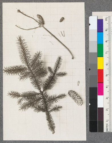 Picea sitchensis. Sitka Spruce. 1919