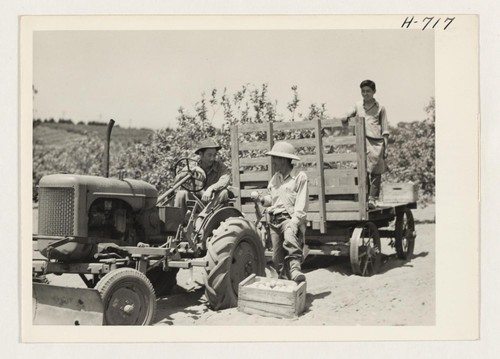 Mr. K.Ota, from Gila River, and his two sons, Kenji, on the tractor, and Minoru are busy getting their thirty-five