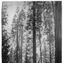View of Calaveras Big Trees State Park in Calaveras County showing the giant redwood trees in the park