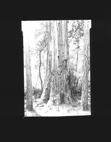 Man standing in front of redwood tree, Guerneville, California(?), about 1935