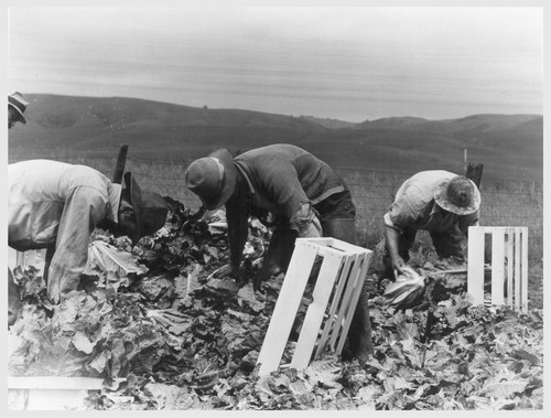 Centerville, Calif.--Japanese field laborers packing cauliflower in field on large-scale ranch owned by white operator (L. E. Bailey). Photographer: Lange, Dorothea Centerville, California
