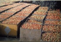 Sebastopol Apple Growers Union bins full of Gravenstein apples