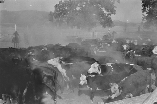 Aberdeen-Angus cattle and ranch hands during roundup at the Ryan ranch, Berryessa Valley