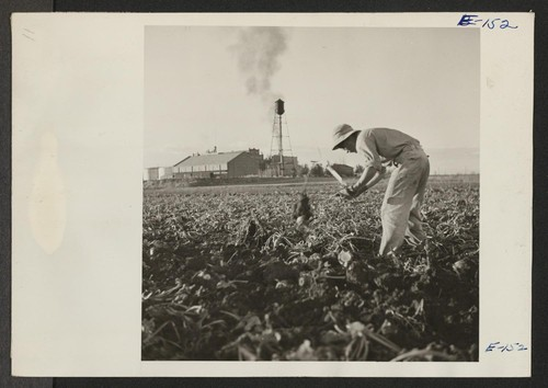 A field in the shadow of the Great Western Sugar Company at Johnstown, Colorado. Masayuki Tashima, former Los Angeles resident and beet worker, volunteered from the Poston Relocation Center as a beet topper. Photographer: Parker, Tom Johnstown, Colorado