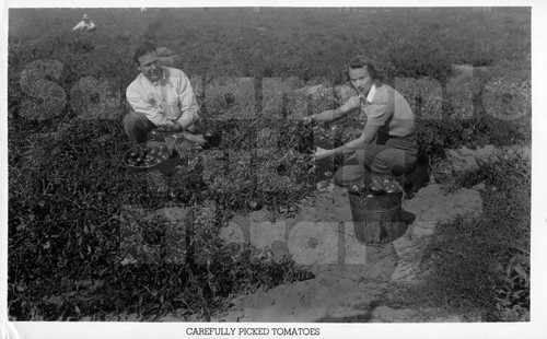Picking Tomatoes for Bercut-Richards Packing Company