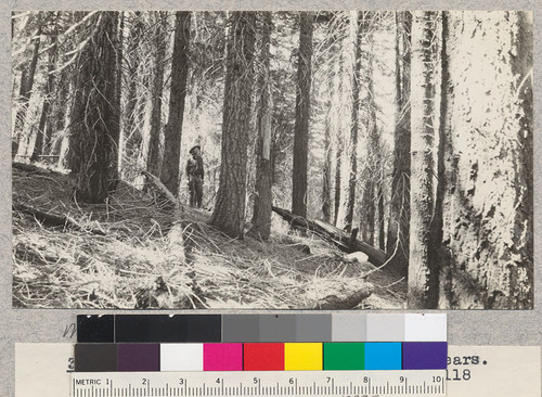 White Fir. Canyon Creek #4. Site 60' at 50 years. Volume 79,4000 board measure per acre. Age 118 years. Schumacher, 1925