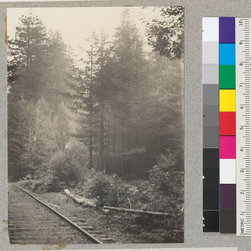 Redwood. Project 688 of 1923. Sprouts that have come up since 65 year old second-growth was cut in 1923. Photo 11/29/36 E.F. See also #6092