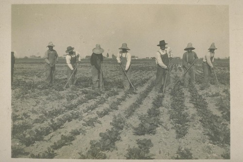 Jap laborers. [Japanese laborers cultivating a field.]