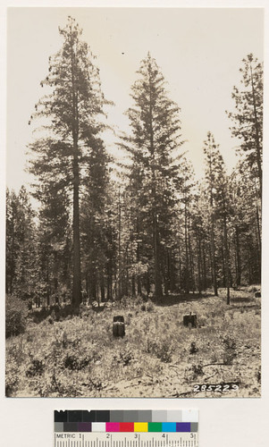 Another view in same locality as No. 285228 showing 70 year old sugar pine. Norman French is standing alongside tree measuring 41.5 inches DBH and 124 ft. high