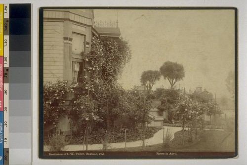 Residence of I.W. Taber, Oakland, Cal. Roses in April. [Photograph by Isaiah West Taber.]