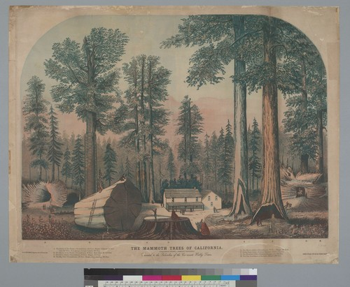 The Mammoth Trees of California, Calaveras County, Sequoia Gigantea [redwood]